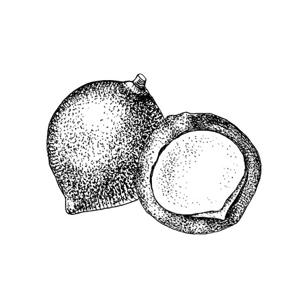 Hand drawn macadamia nuts. Vector Illustration