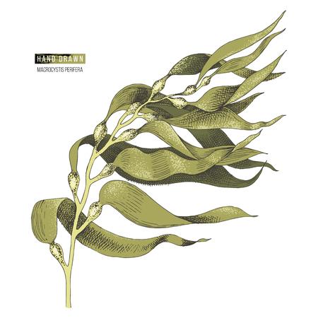 Handgezeichnete bunte Macrocystis Algen isoliert auf weißem Hintergrund. Vektor-Illustration Vektorgrafik