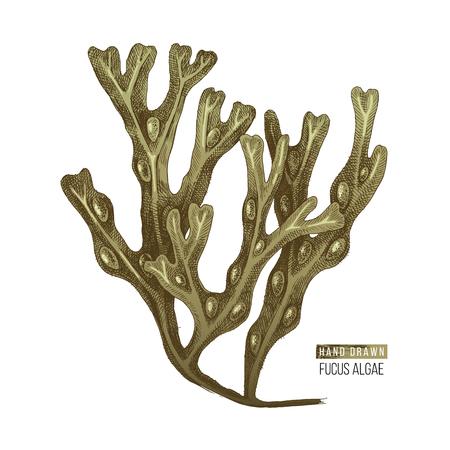 Hand drawn Fucus algae