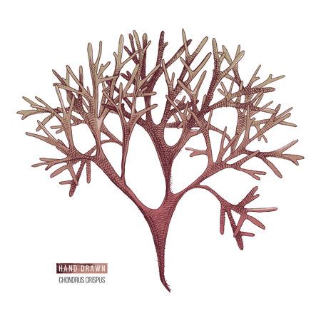 Handgezeichnete Chondrus Crispus Algen