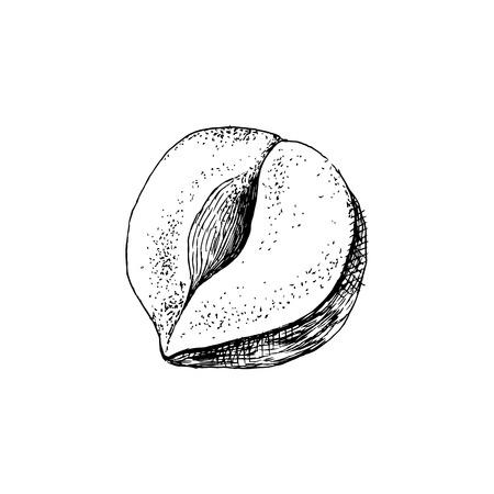 Hand drawn hazelnut