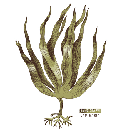 Hand drawn colorful laminaria digitata seaweed. Vector illustration Illustration