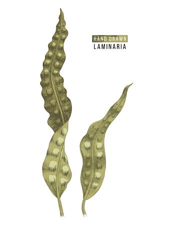 Algues laminaires colorées dessinées à la main. Illustration vectorielle Vecteurs