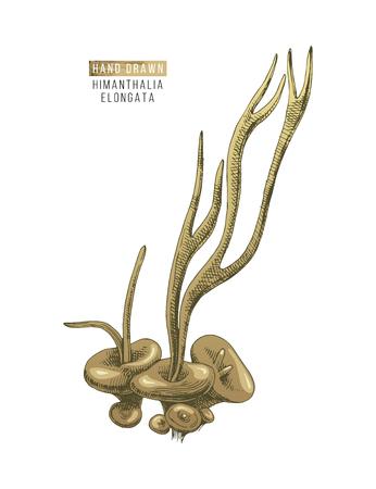 Hand drawn colorful Himantalia Elongata algae isolated on white background. Vector illustration Stock Vector - 122825707