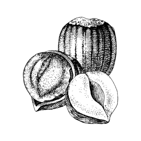 Hand drawn hazelnuts