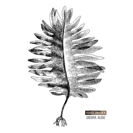 Hand drawn Wakame or Undaria Pinnatifida alga isolated on white background. Vector illustration