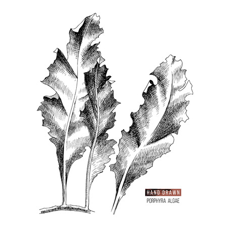 Hand drawn Porphyra seaweed isolated on white background. Vector illustration