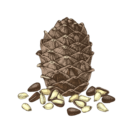 Hand drawn colorful cedar bump and pine nuts isolated on white background. Vector illustration