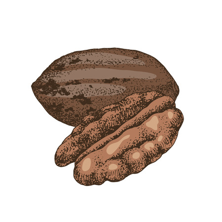 Hand drawn colorful pecan nuts. Vector illustration in retro style