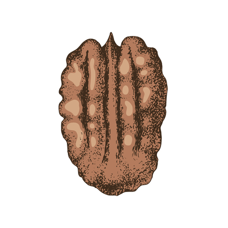 Hand drawn colorful pecan nut. Vector illustration in retro style Reklamní fotografie - 122949049