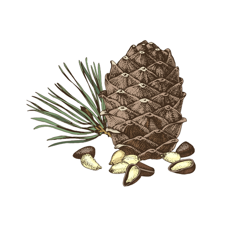 Hand drawn colorful cedar bump and pine nuts . Vector illustration
