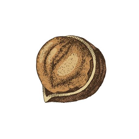Vector hand drawn hazelnut  イラスト・ベクター素材