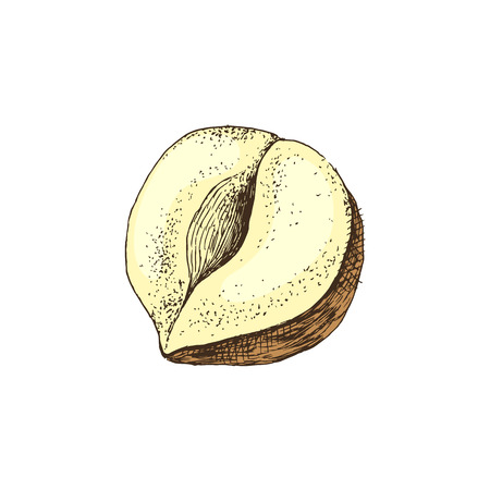 Vector hand drawn hazelnut Illustration