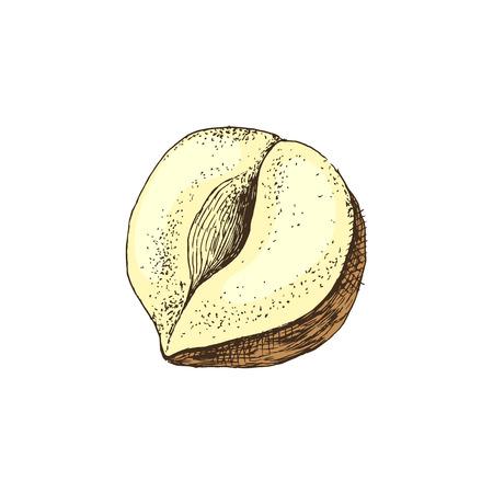 Vector hand drawn hazelnut 스톡 콘텐츠 - 123302682