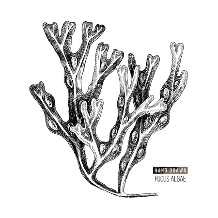 Hand drawn Fucus algae isolated on white background. Vector illustration Çizim
