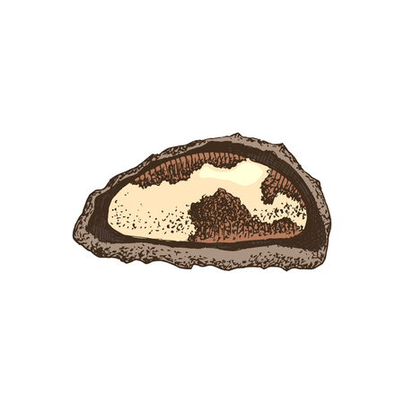 Hand drawn brazil nut in broken shell