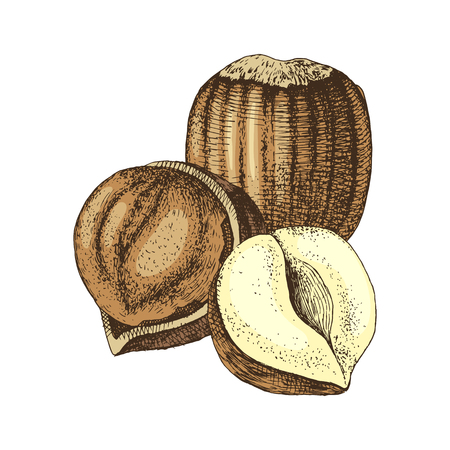 Vector hand drawn hazelnuts Ilustração