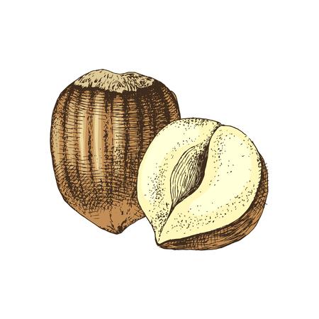 Vector hand drawn hazelnuts