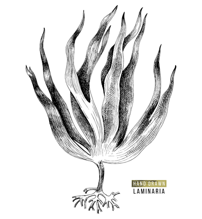Hand drawn laminaria digitata seaweed isolated on white background. Vector illustration