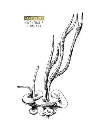 Hand drawn Himantalia Elongata algae