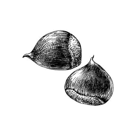 Hand drawn chestnut Illustration