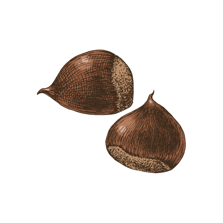 Hand drawn chestnuts Vectores