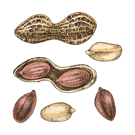 Hand drawn peanut set Illustration