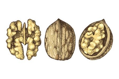 3 hand drawn colorful walnut nuts isolated on white background. Vector illustration
