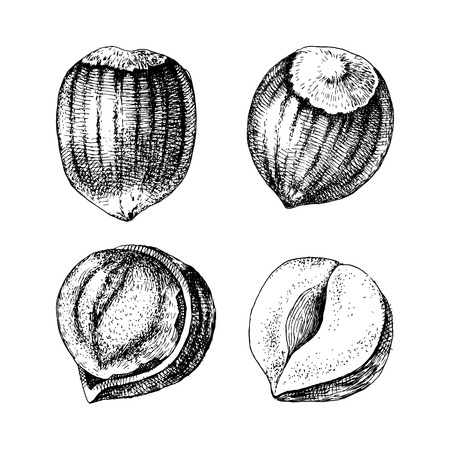 4 hand drawn hazelnuts isolated on white background. Vector illustration Stock Illustratie