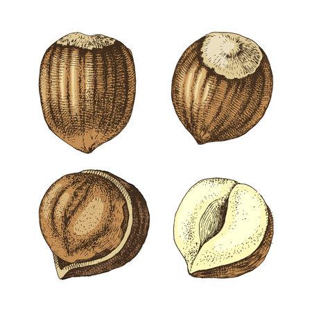 4 hand drawn colorful hazelnuts isolated on white background. Vector illustration Illustration