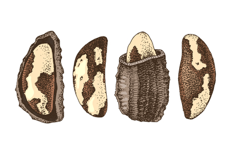 Set of 4 hand drawn colorful brazil nuts. Vector illustration Illustration