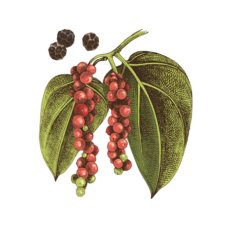 Hand drawn black pepper plant. Colorful vector illustration in retro style