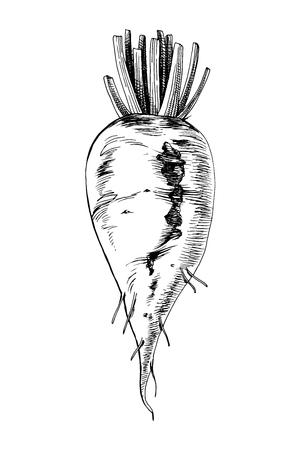 Handgezeichnete Zuckerrüben isoliert auf weißem Hintergrund. Vektor-Illustration Vektorgrafik