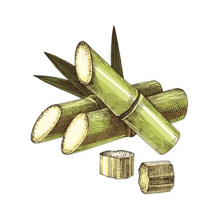 Hand drawn sugar cane