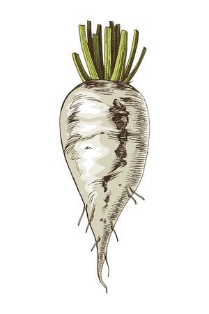 Bunte handgezeichnete Zuckerrüben isoliert auf weißem Hintergrund. Vektor-Illustration