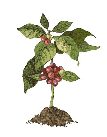 Young coffee tree with beans