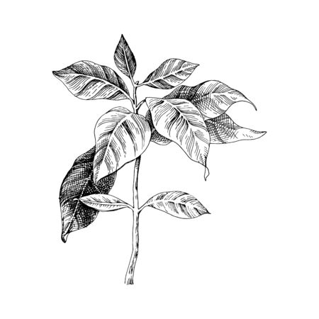 Hand drawn coffee seedling. Vector illustration Ilustração