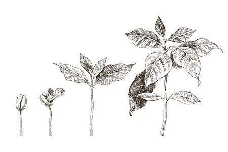 Hand drawn coffee seedlings. 4 stages of growing plant. Vector illustration Ilustração