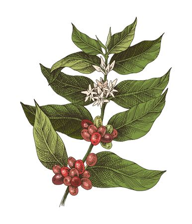 Hand drawn colorful coffee plant in retro style. Vector illustration. Easy to use for package of menu designs.