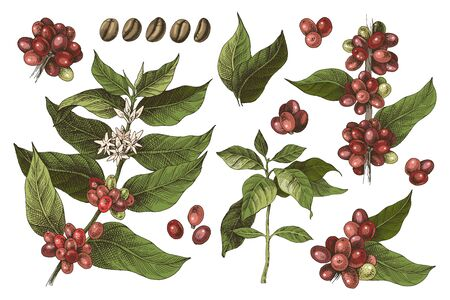 Hand drawn set of colorful coffee tree branches and beans. Vector illustration in vintage style Illustration