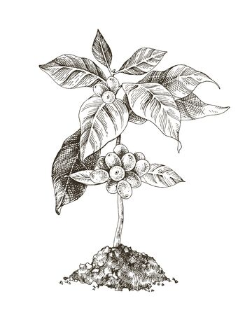Hand drawn monochrome young coffee tree with beans. Vector illustration