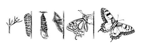 Metamorfose van de Zwaluwstaart - Papilio machaon - vlinder
