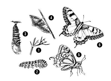 Metamorphosis of the Swallowtail - Papilio machaon - butterfly.