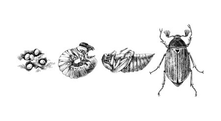 Metamorphosis of Maybug. 4 stages of cockchafers - Melolontha melolontha - life cycle.