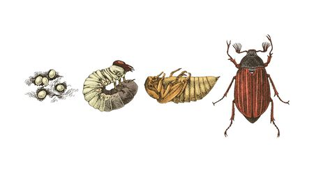Metamorphosis of Maybug. 4 stages of cockchafers Stock Vector - 129247119