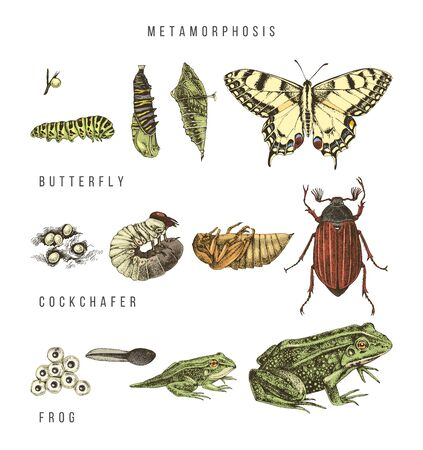 Metamorphosis of the swallowtail, cockchafer and frog Ilustração