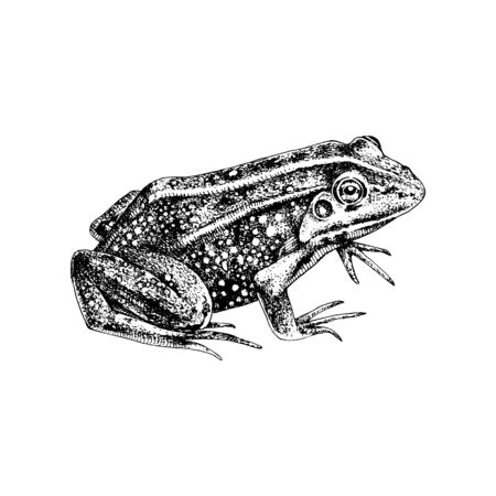 Hand drawn common water frog Stock Illustratie