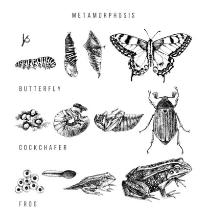 Metamorphosis of the swallowtail, cockchafer and frog
