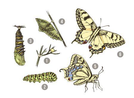 Metamorfose van de Zwaluwstaart - Papilio machaon - vlinder Vector Illustratie