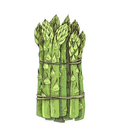 Hand drawn bunch of asparagus isolated on white 矢量图像
